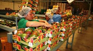 Exportaciones de mango peruano se acercan a nuevo récord