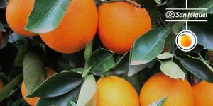 Exportaciones de naranja de mesa por parte de San Miguel Global crecieron entre 50 y 80% dependiendo del destino en la presente campaña