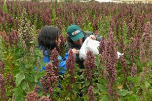 Exportaciones de Quinua de Ayacucho se duplicaron este año