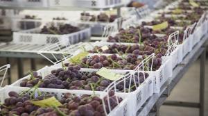 Exportaciones de uva crecieron en valor 11% en la campaña 2017/2018