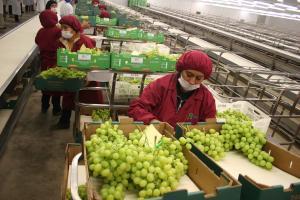 Exportaciones de uva de mesa de Perú crecieron 40% en lo que va de la presente campaña