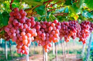Exportaciones de uvas sumaron US$ 416 millones en el primer bimestre de 2020