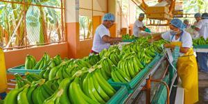 Exportaciones peruanas de bananas crecerían por lo menos 10% en los próximos tres años