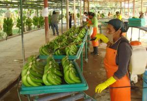 Exportaciones peruanas de banano cayeron en valor 9.5% en el primer trimestre del año
