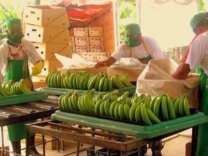 Exportaciones peruanas de banano crecerían en volúmen 25% este año