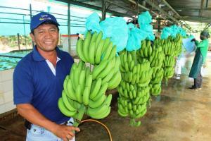 Exportaciones peruanas de banano se redujeron en valor 5.46% en el primer semestre del año