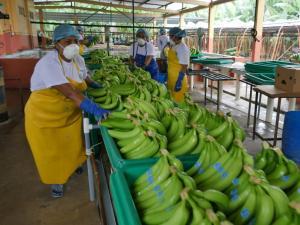 Exportaciones peruanas de bananos frescos cayeron 20% de enero al 20 de septiembre del 2021