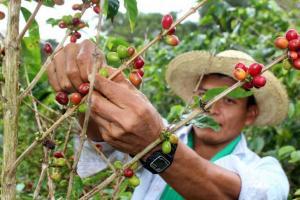 Exportaciones peruanas de café a Estados Unidos se reducen en 51% en los últimos ocho años