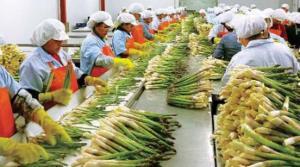 Exportaciones peruanas de espárragos alcanzarían los US$ 600 millones este año