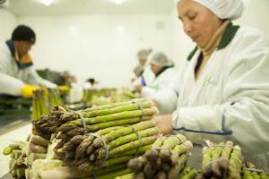 Exportaciones peruanas de espárragos cayeron 5% en los últimos cuatro años