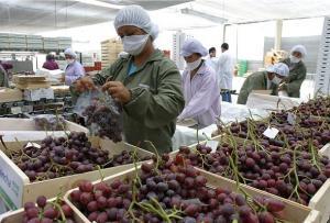 Exportaciones peruanas de uva de mesa caen en volumen 11% en la presente campaña