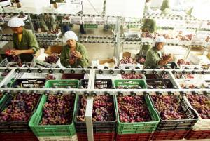 Exportaciones peruanas de uva sumaron cerca de US$ 272 millones entre enero y octubre del 2017