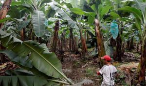 """""""Fusarium Raza 4 amenaza banano en América"""""""
