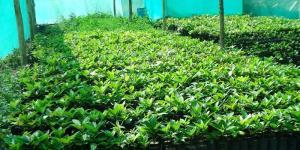Gerencia Regional de Agricultura de La Libertad  entregó más de 13 mil plantones de palta Hass a asociaciones de productores