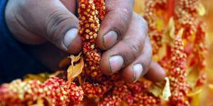 Gobierno debe tener mayor decisión para promover consumo de granos andinos
