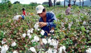 GRA Lambayeque no promoverá siembra de algodón debido a que su mercado es incierto para la siguiente campaña