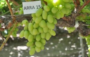 Grupo Oppenheimer importará uvas de Perú al mercado norteamericano