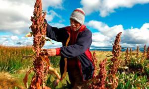 Huánuco: lanzan proyecto para promover producción de  quinua