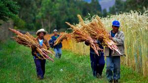Huánuco se desengancha del 'boom' de la quinua y busca cultivos alternativos