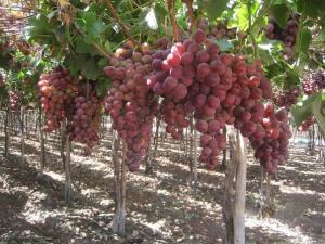 Ica exportaría entre 20 millones y 22 millones de cajas de uva esta campaña