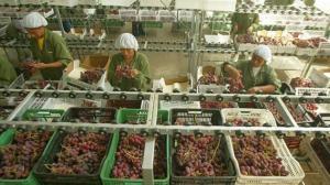 Ica y Piura lideraron las exportaciones de uva de mesa en 2018
