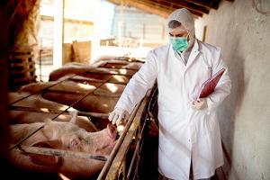 IICA llama a reforzar controles sanitarios ante la expansión de la Peste Porcina Africana