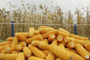 Importaciones de maíz amarillo duro suman US$ 114 millones en el primer bimestre de 2020
