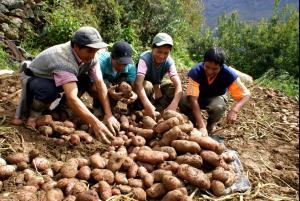 Impulsan industrialización de la papa en la provincia de Barranca