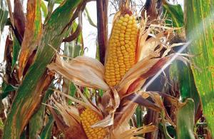 """INIA desarrolla nuevo maíz amiláceo """"Cumbemaino"""" con capacidad de incrementar producción por hectárea"""