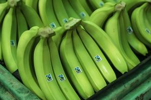 INIA desarrollará tecnología que proteja al banano orgánico de letal hongo Fusarium Oxysporium