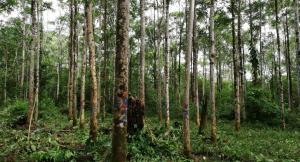 INIA evalúa propiedades tecnológicas de ocho especies forestales de la Amazonía