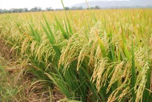 INIA genera más de 10 toneladas de semillas certificadas de arroz para la región San Martín