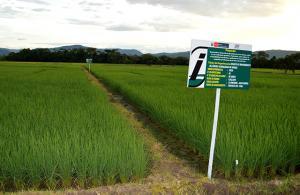INIA intensifica el desarrollo de una variedad de arroz resistente a enfermedades y de buena calidad de grano