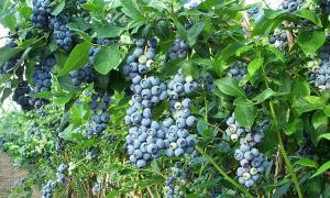 Inka´s Berries amplía sus campos