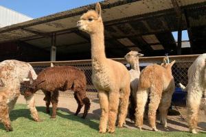 Invierten S/ 32 millones para proyecto de mejoramiento genético de la alpaca en 8 regiones