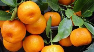 Japón ofrece pagar por mandarinas peruanas más del doble de su precio