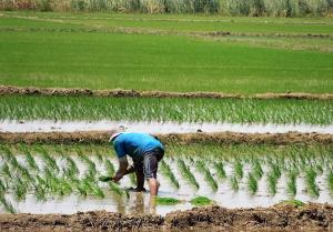 Jequetepeque instalará 32 mil hectáreas de arroz en la campaña grande