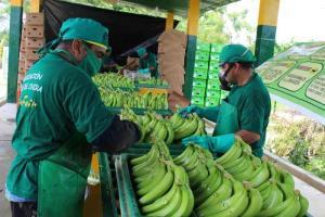 JNB: Producción de banano orgánico disminuirá 10% este año