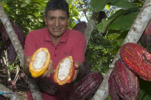 Junín: agricultores de Mazamari apuestan por el cultivo de cacao de alto rendimiento