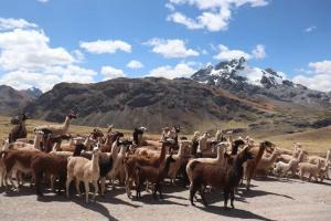 Junín: Realizan registro genealógico de alpacas y llamas en la comunidad campesina de Sangrar