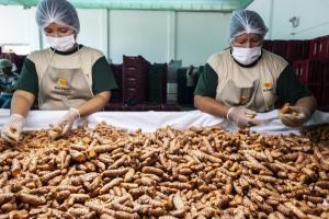 Kion Export aumenta las siembras de jengibre en un 15% para 2021
