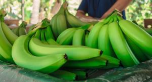 La industria peruana del banano no debe perder de vista el peligro del Fusarium oxysporum presente en Colombia