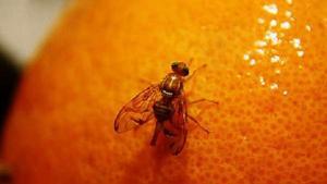 La Libertad: 140 mil productores se beneficiarán con erradicación de mosca de la fruta