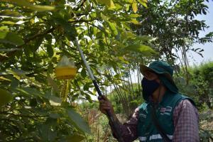 La Libertad: acciones para erradicar las moscas de la fruta beneficiarán a más de 4 mil pequeños productores frutícolas