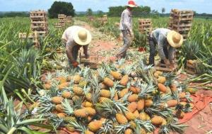 La Libertad: productores de piña implementaron Buenas Prácticas Agrícolas