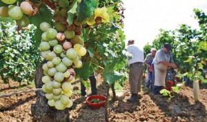 La Libertad produjo 58.881 toneladas de uva en 2019