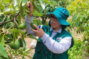 La Libertad: se inicia certificación de lugares de producción para exportación de palta