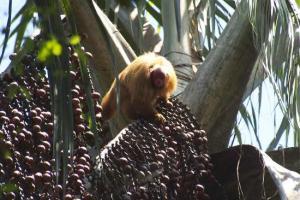 La selva peruana también puede entrar con sus propias variedades al mercado de los berries