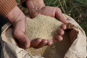 LAMBAYEQUE: AGRICULTORES PERDIERON UN MILLÓN DE SOLES POR SEMBRAR QUINUA