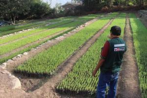 Lambayeque: AgroRural firma convenio con Municipalidad Distrital de Salas para la producción e instalación de 200 mil plantones de árboles maderables